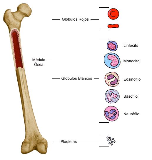 La médula ósea tiene un papel fundamental en la anemia