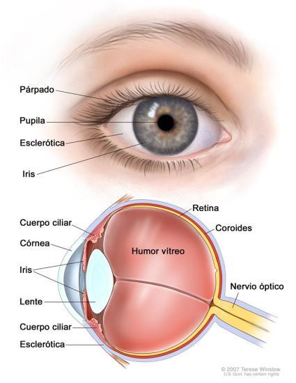 anatomia_del_ojo